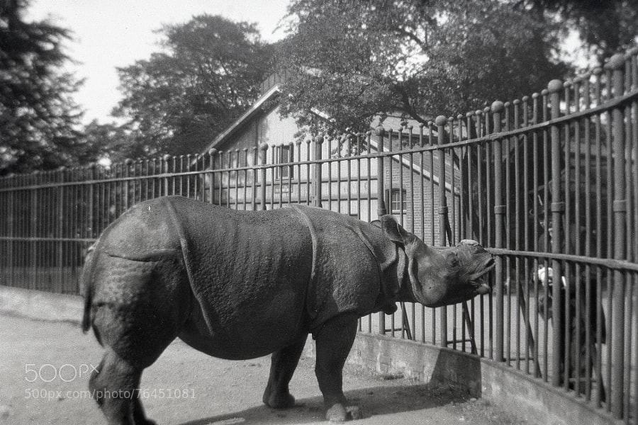 Photograph Rhino without a horn - London Zoo by Century of  Photography on 500px