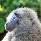 Baboon, Serengeti Park, Tanzania