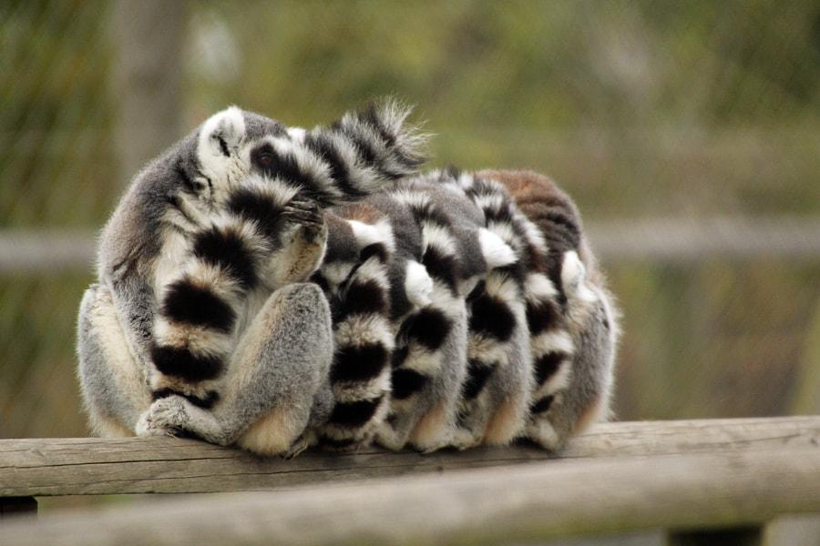 sleeping lemurs by martyn bennett on 500px.com