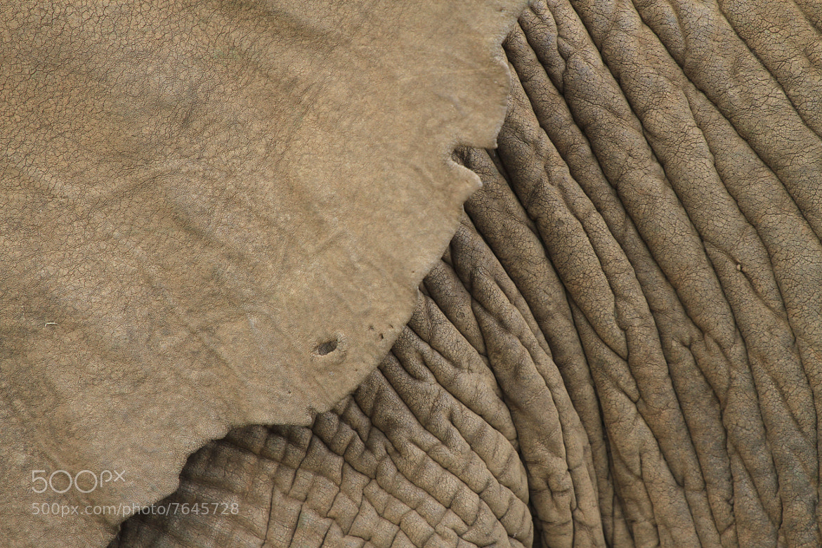 Photograph Elephant skin by Philippe Guerlet on 500px