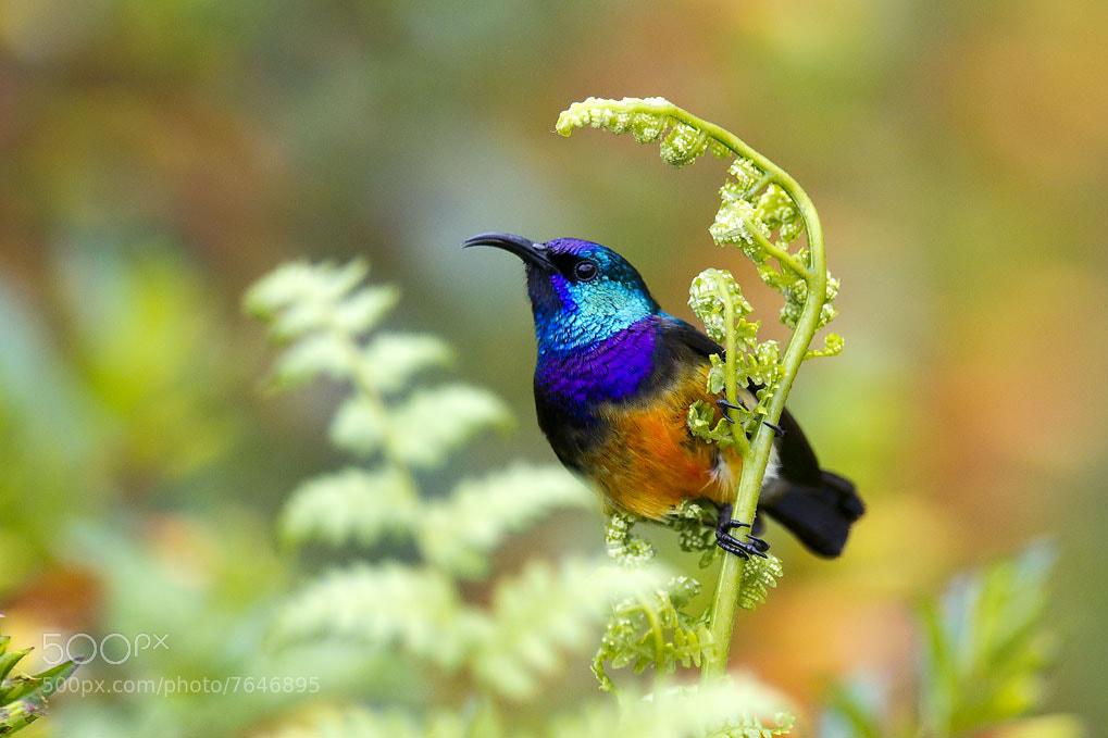 Photograph Variable Sunbird by Gael Vande weghe on 500px