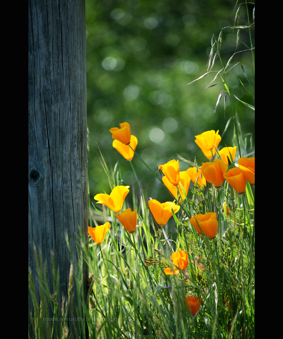 Photograph california poppies by Monica Murphy on 500px