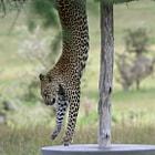 Leopard sleeping under an umbrella in Serengeti National Park, Tanzania