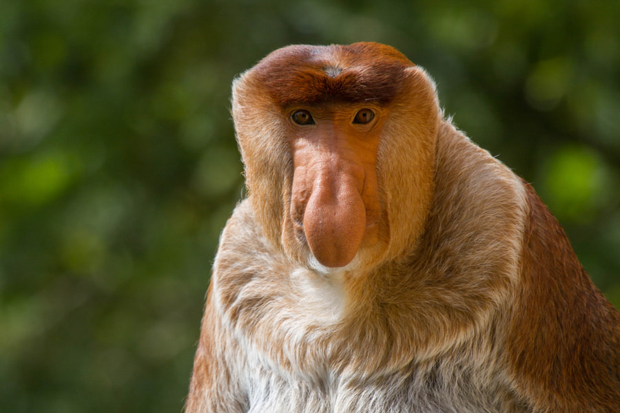 Proboscis monkey by Brenda Passchier on 500px.com