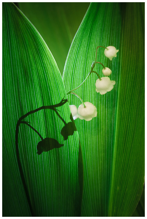 Photograph Lily of the Valley by Simon Benedičič on 500px