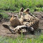 Cheetah,Seregenti Park, Tanzania