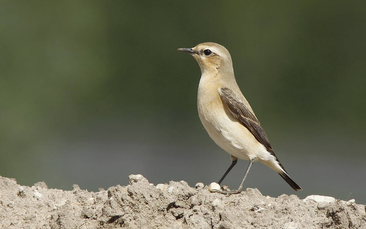Photograph Wheatear by pieterbj van den berg on 500px