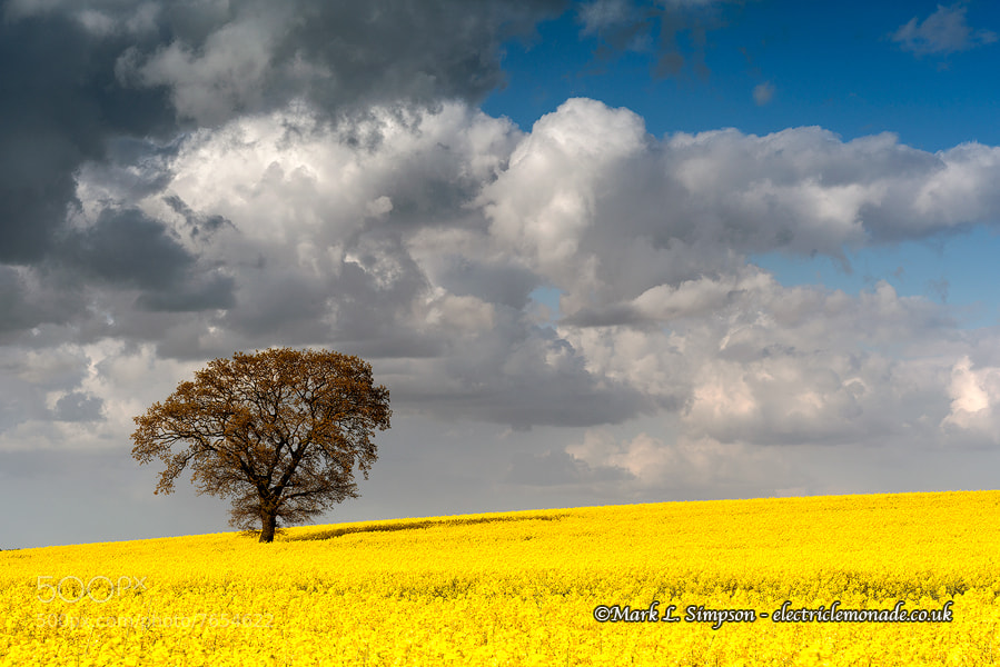 Photograph Rutland Rapeseed Field by Mark Simpson on 500px