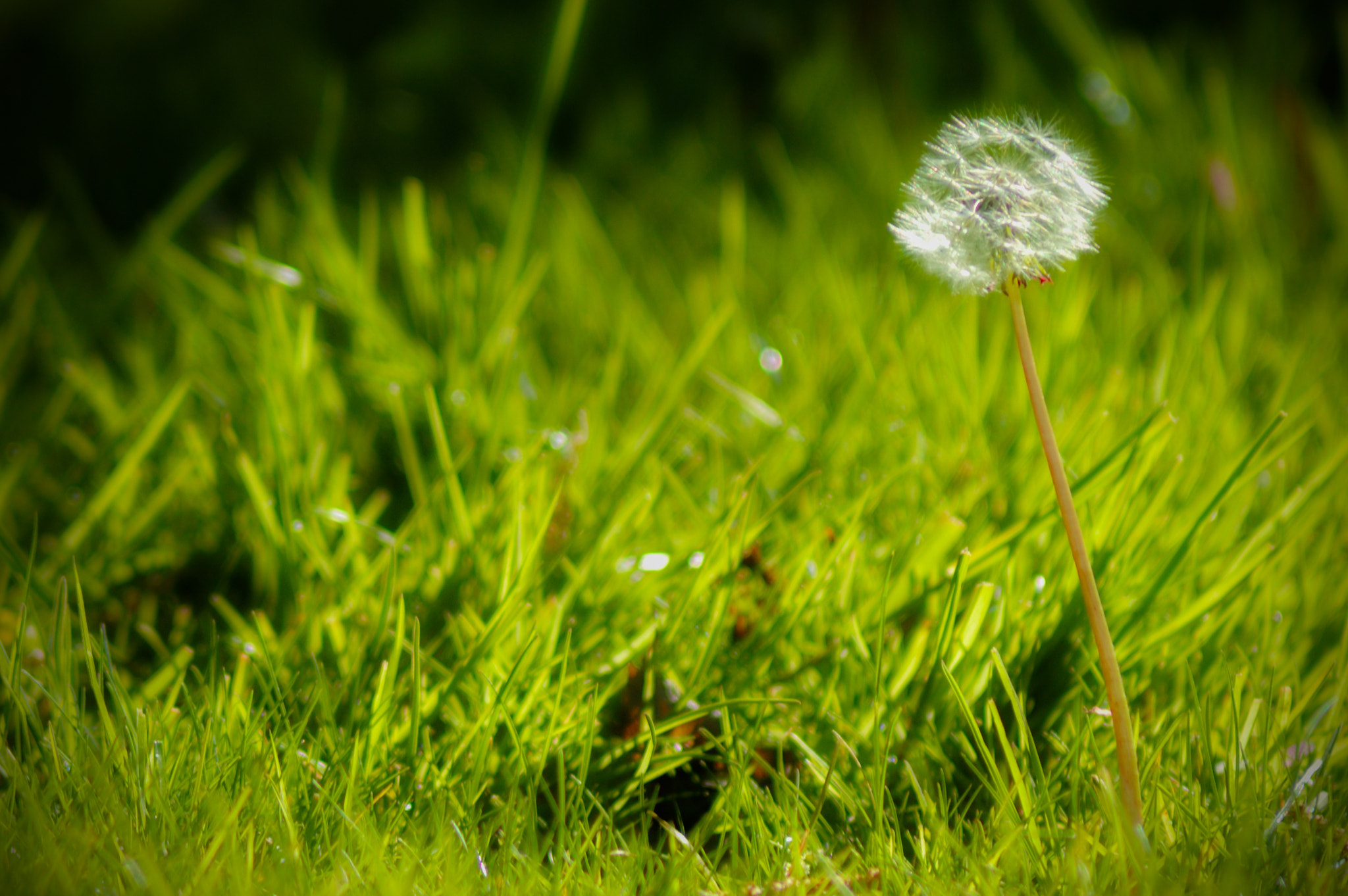 Photograph Dandelion by Giacomo Signorino on 500px