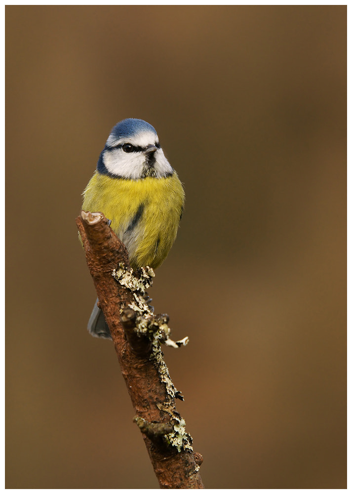 Photograph Tit on a stick by Geoffrey Baker on 500px