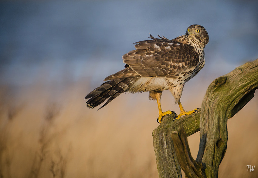 Photograph Goshawk by Trond  Westby on 500px