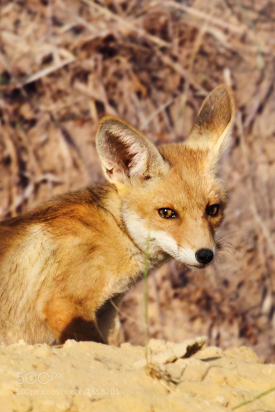 Photograph Red Fox by Tatyana Druz on 500px
