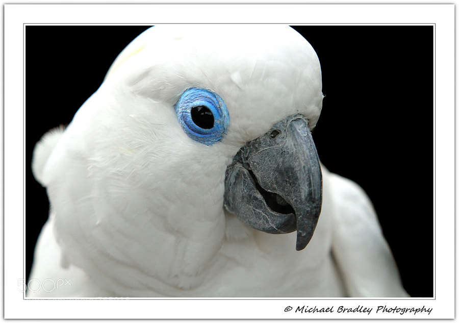 Blue Eyed Cockatoo-Cacatua ophthalmica