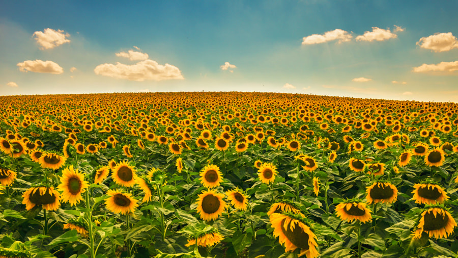 Sunflower Field by Alexander Popov on 500px.com