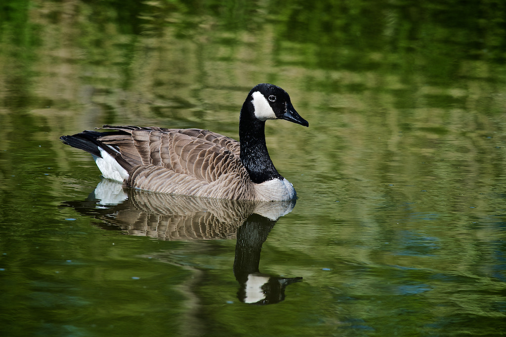 Photograph Canada Goose by Robert Disney on 500px