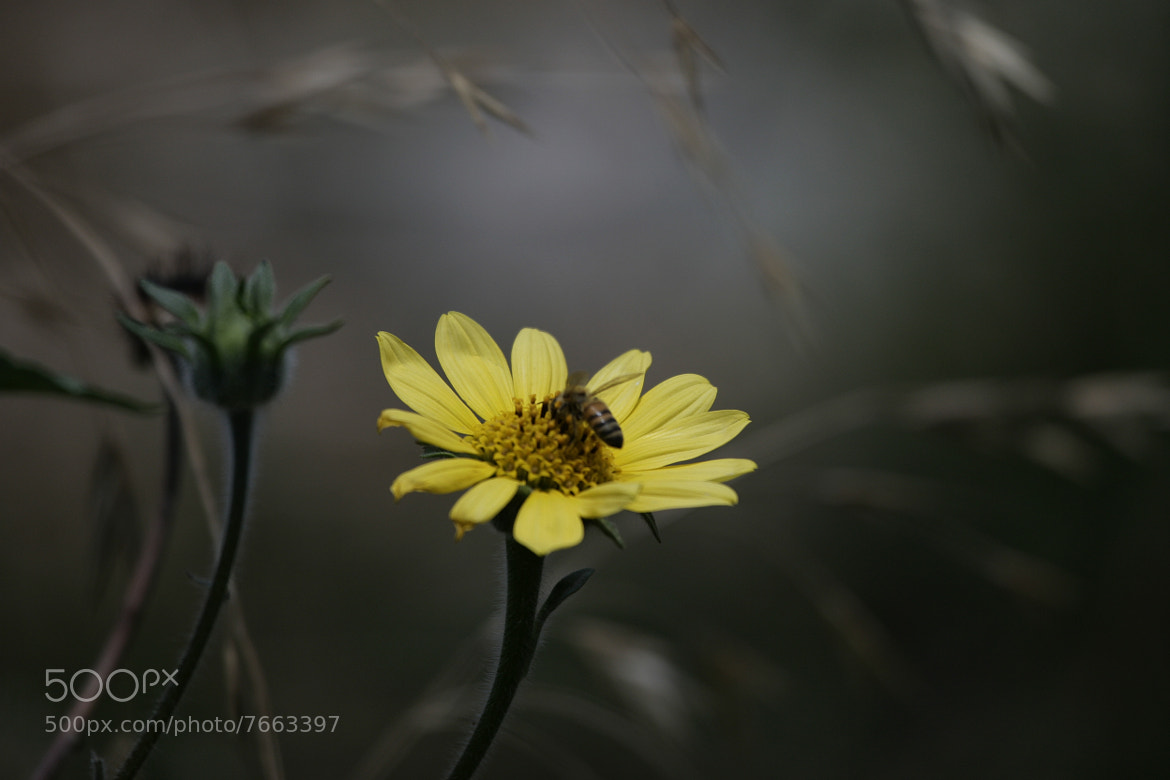 Photograph Yellow daisy and bee by Cristobal Garciaferro Rubio on 500px