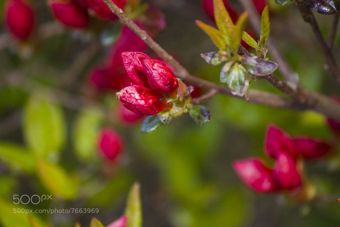 Photograph Flower Buds by Ashwin Visvanathan on 500px