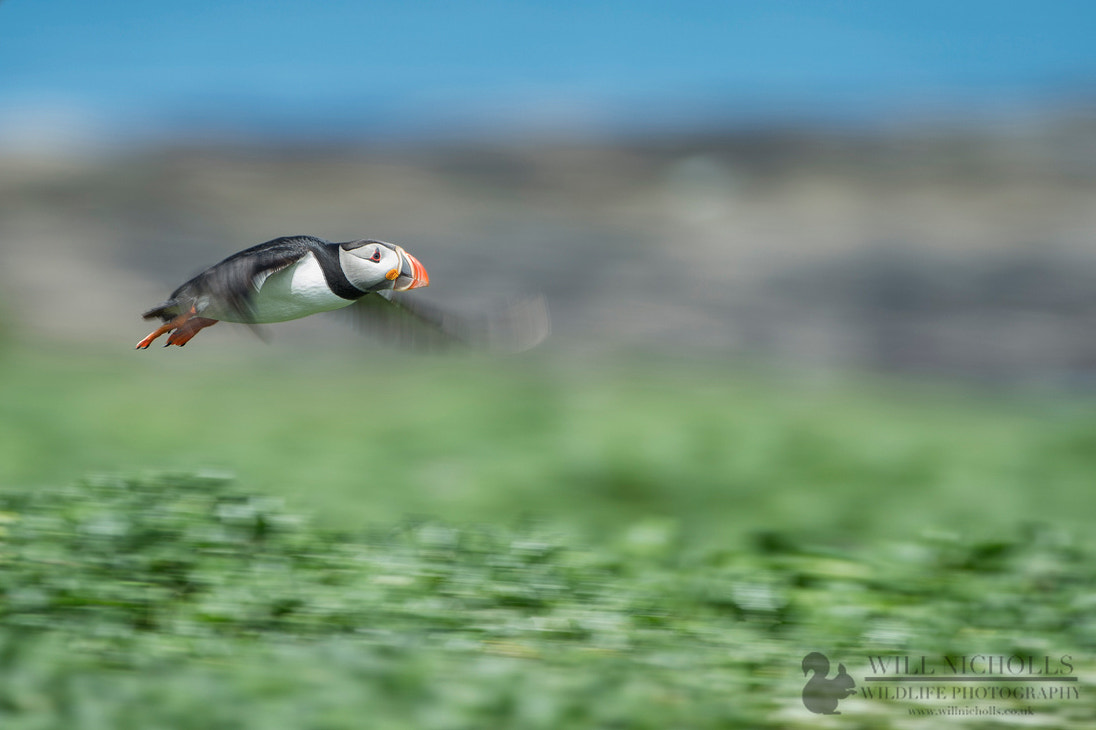 Photograph Puffin Pan by Will Nicholls on 500px