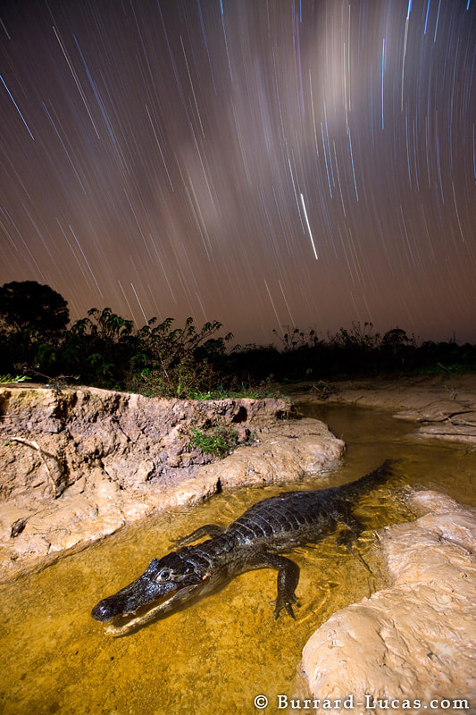 A caiman at night in the Pantanal, Brazil. The caiman was in a small stream waiting for unfortunate fish to pass through its open jaws. We exposed the foreground with a remote flash and then left the shutter open to capture the star trails.