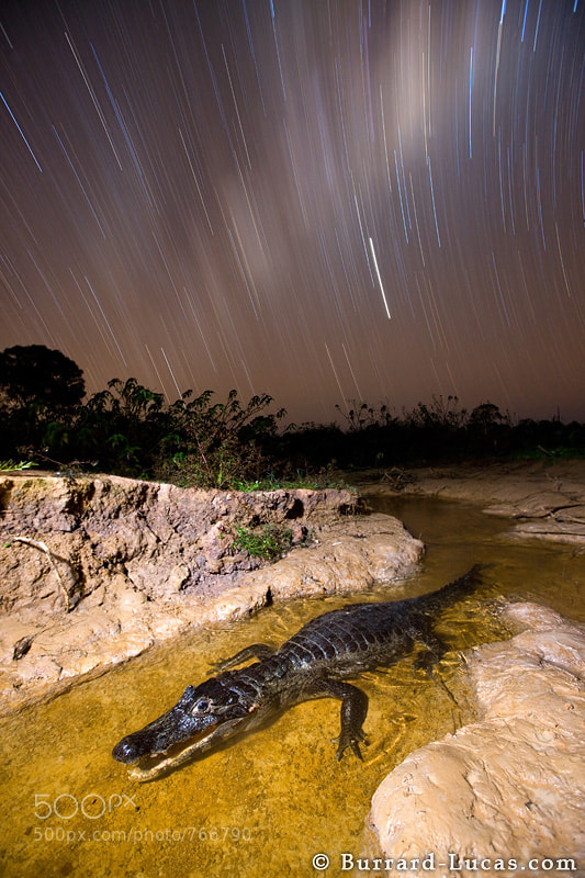 """A caiman at night in the Pantanal, Brazil. The caiman was in a small stream waiting for unfortunate fish to pass through its open jaws. We exposed the foreground with a remote flash and then left the shutter open to capture the star trails.  - More <a href=""""http://www.burrard-lucas.com/pantanal/"""">Pantanal photos</a>"""