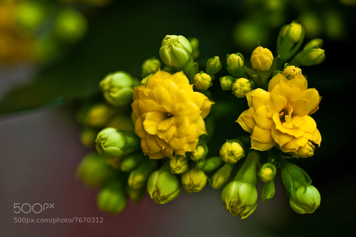 Photograph home flowers (02) by Vlado Ferencic on 500px