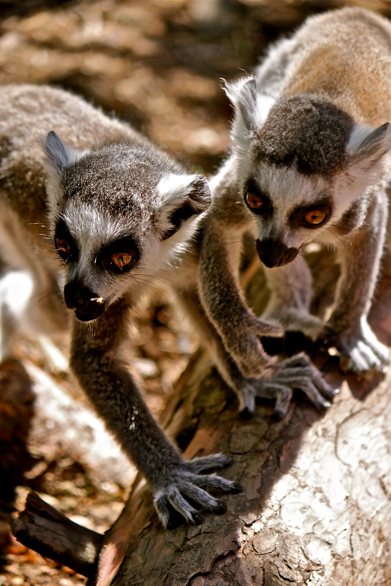 Photograph Lemurs  by Katerina Lahiff on 500px