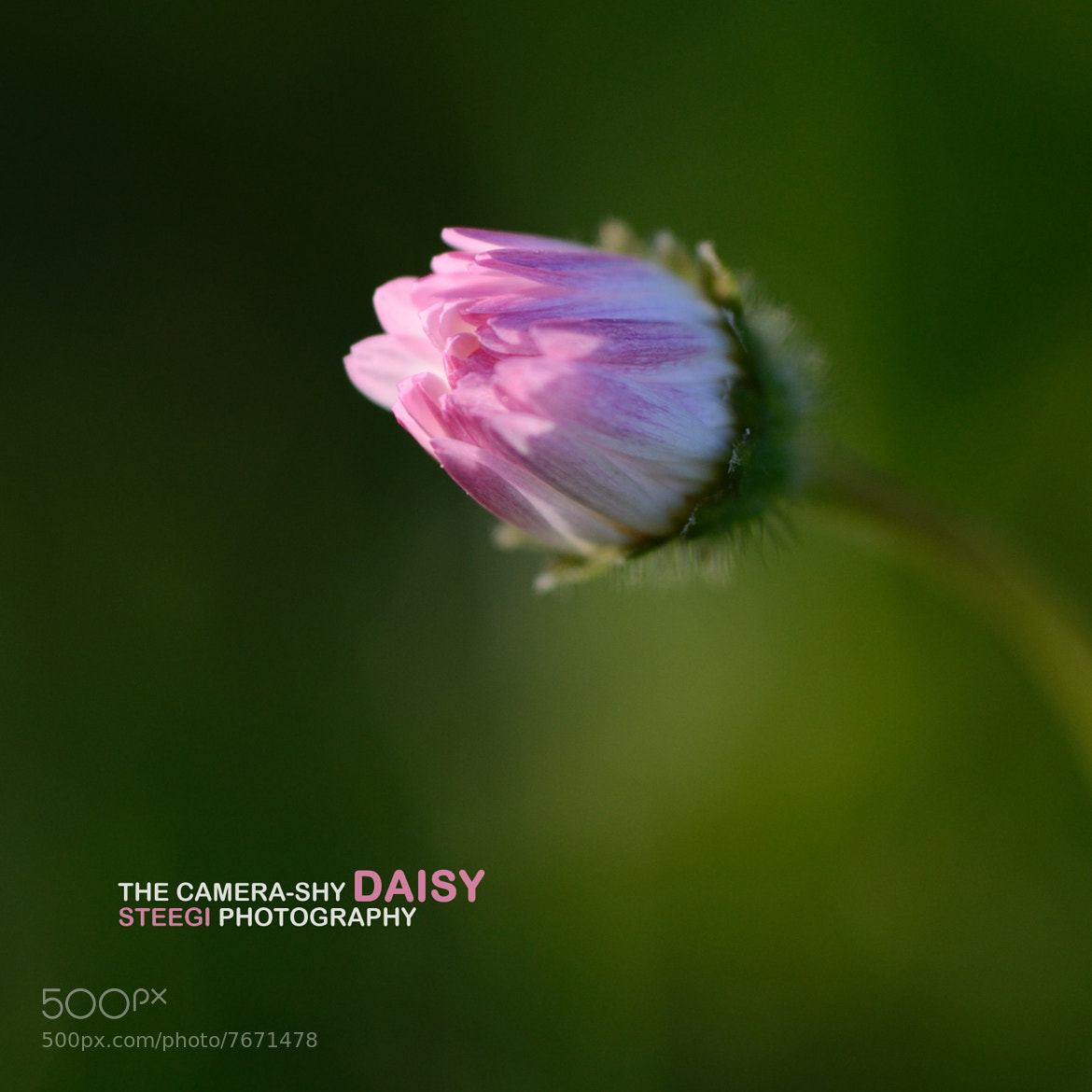 Photograph The camera-shy Daisy by Andreas Steegmann on 500px