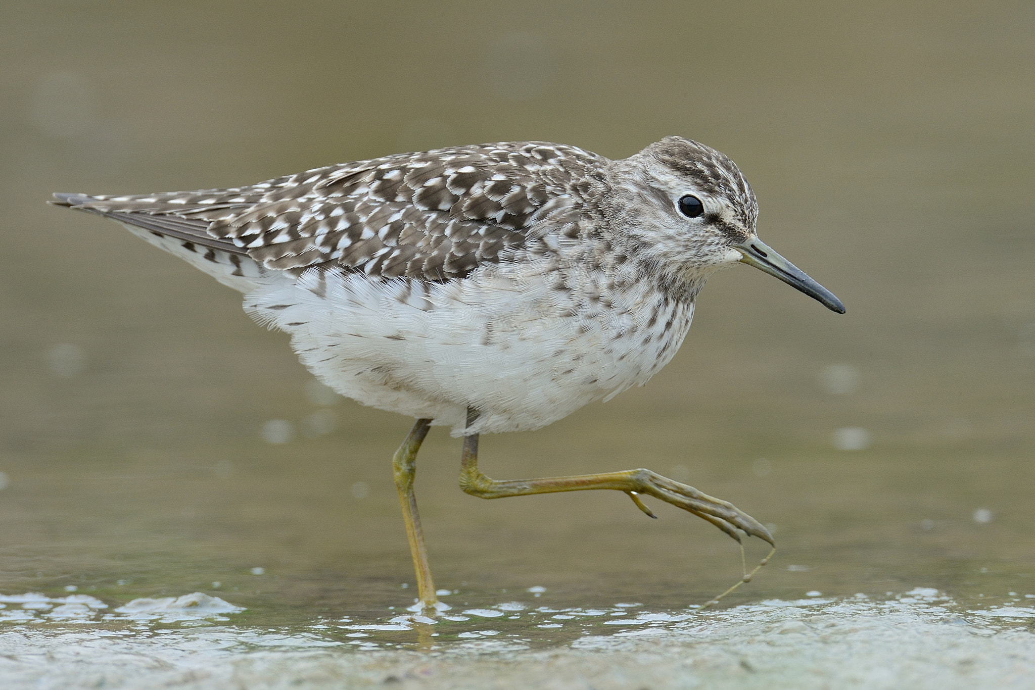 Photograph Wood Sandpiper by hyongchol kim on 500px
