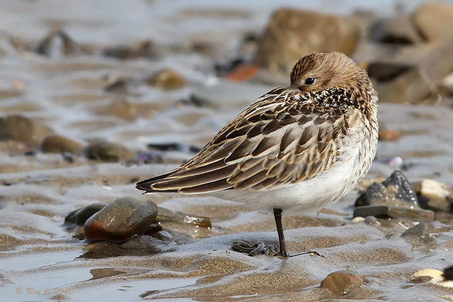 Photograph Dunlin by Roy Churchill on 500px