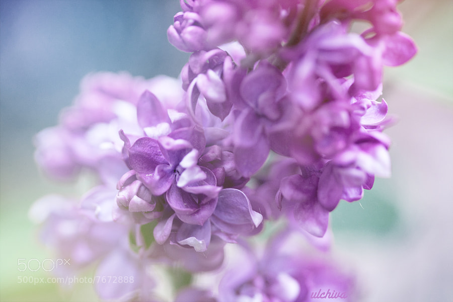 lilac by Julia Iva (ulchiva) on 500px.com