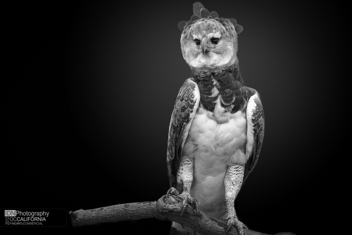 Photograph Harpy Eagle by Ivan Nicolau on 500px
