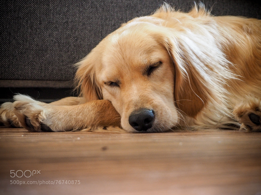 Photograph peaceful dog by Peter Molnar on 500px