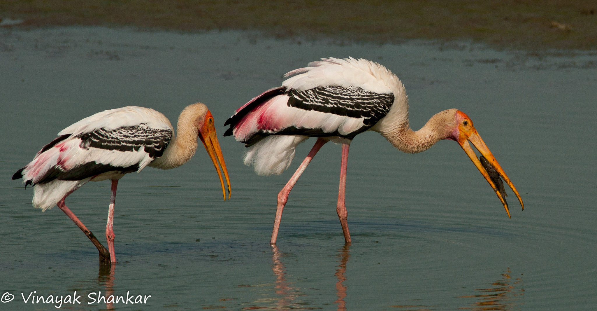 Photograph Painted Storks by Vinayak Shankar on 500px