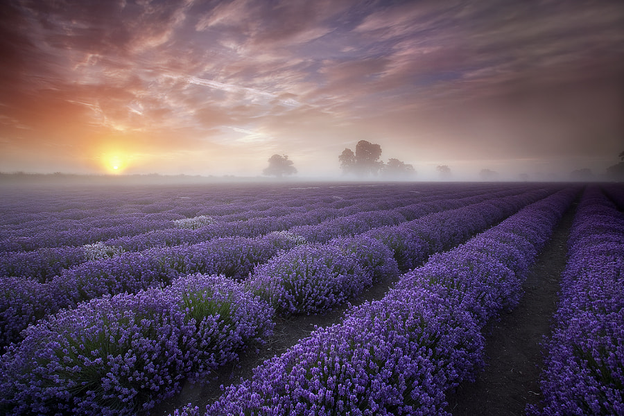 Lavender Sunrise by Antony Spencer on 500px.com