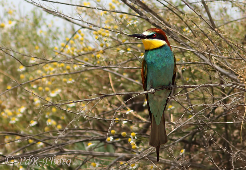 Photograph Bee-eater by PdR Photo on 500px