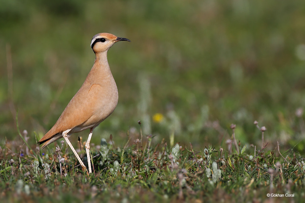 Photograph Cream-coloured courser by Gökhan CORAL on 500px