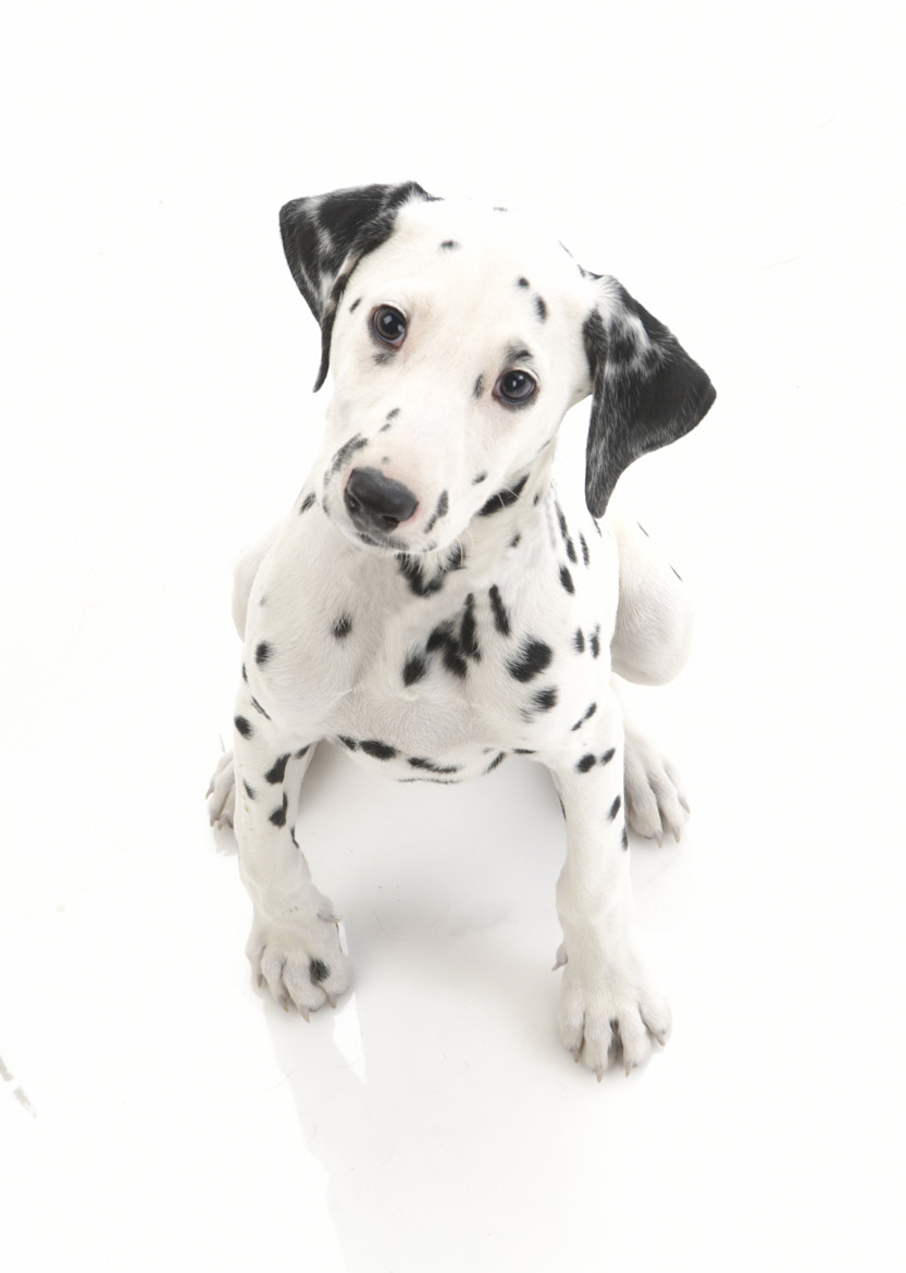 Photograph Dalmatian puppy by Richard Pinches on 500px