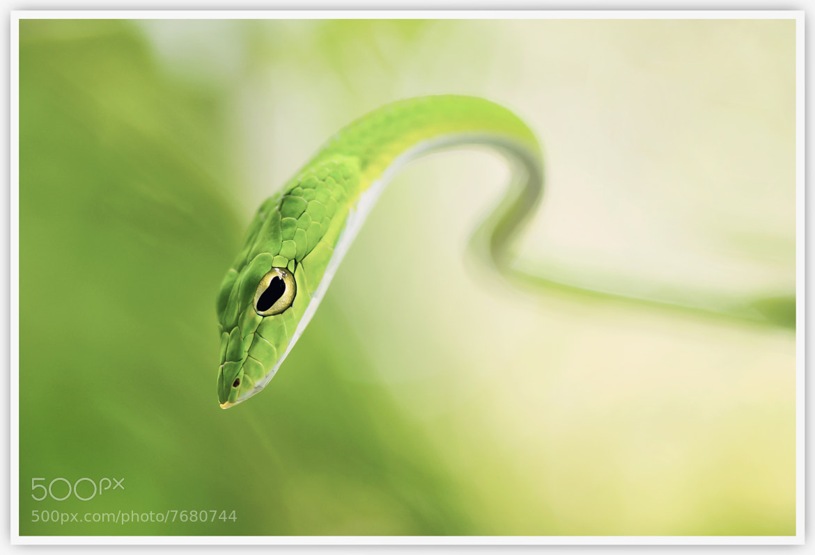 Photograph Oriental Whip Snake by Vin PSK on 500px