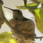 A hummingbird sitting on it's nest hanging on a thin branch on a tree.