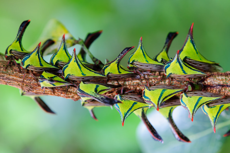 weird animals -Thorn bugs by Scott J on 500px.com