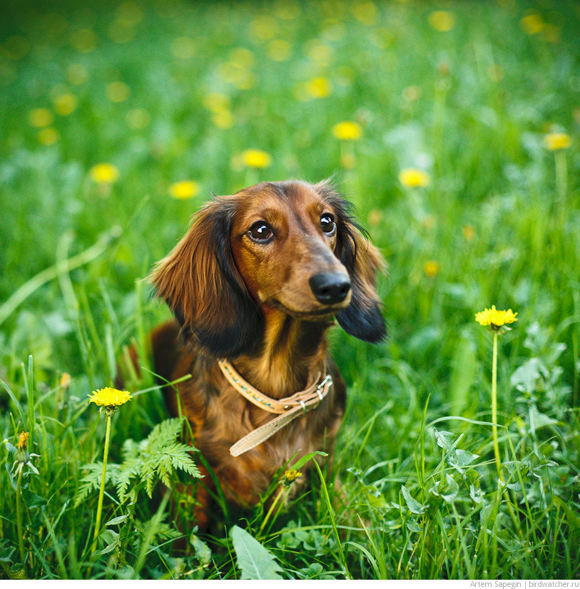 Photograph Dachshund Portrait by Artem Sapegin on 500px