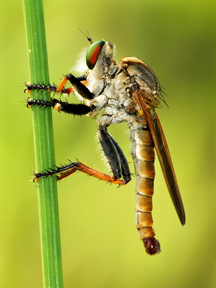Photograph Robber Fly by Hery He on 500px