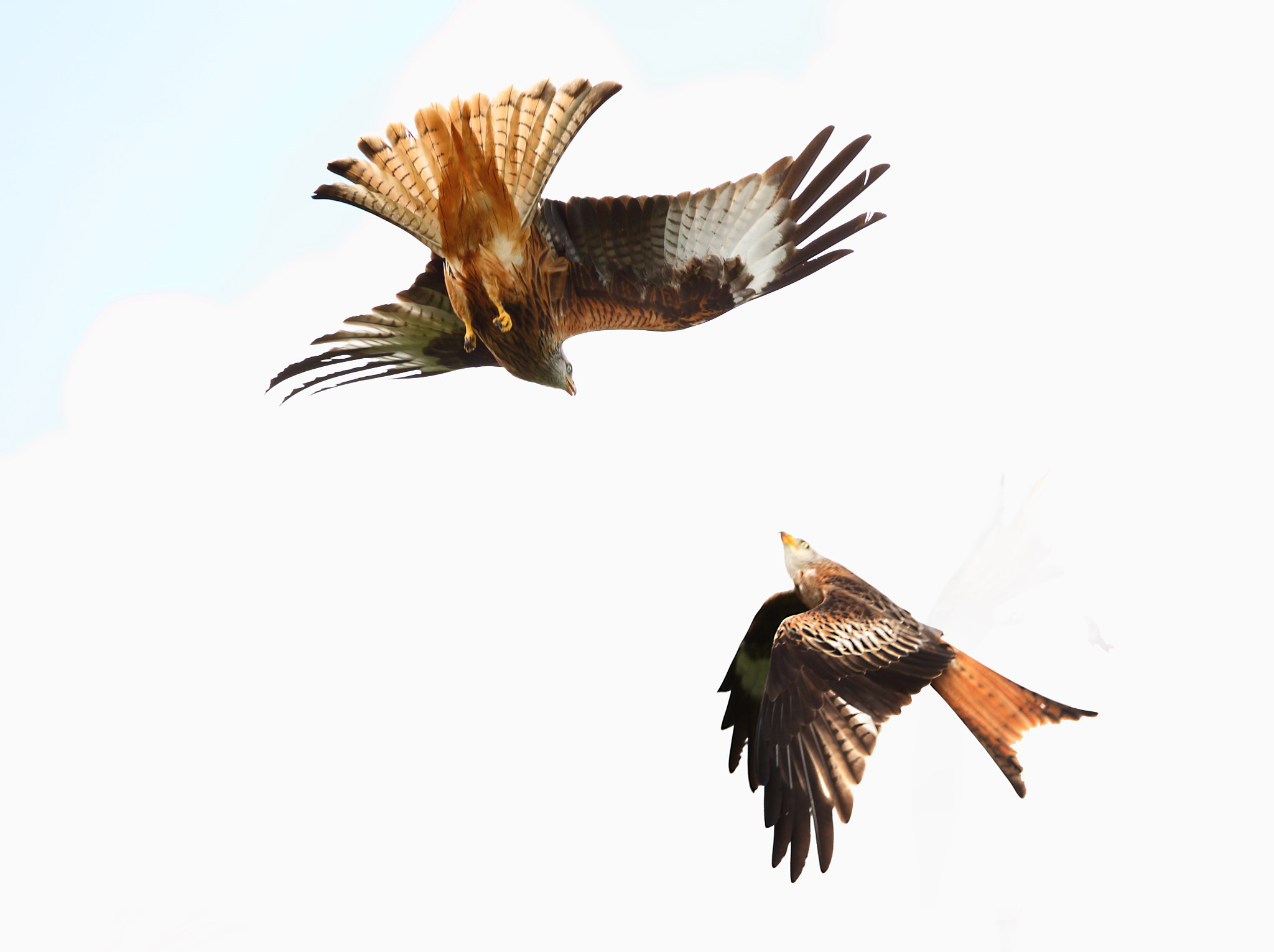 Photograph Red kite fight by Steven Ward  on 500px