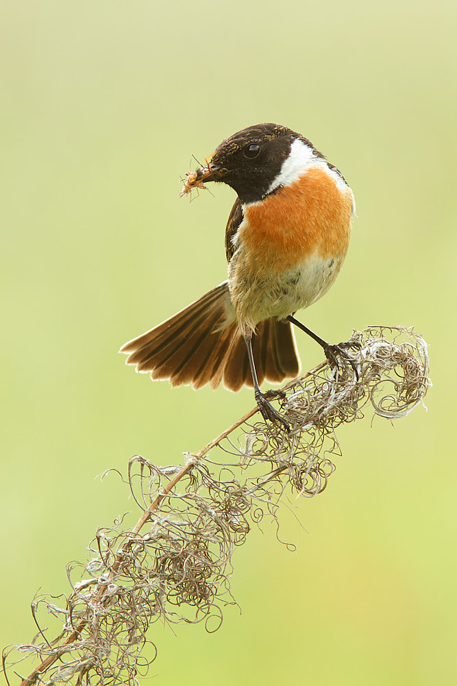 Photograph Stonechat by Tom  Kruissink on 500px