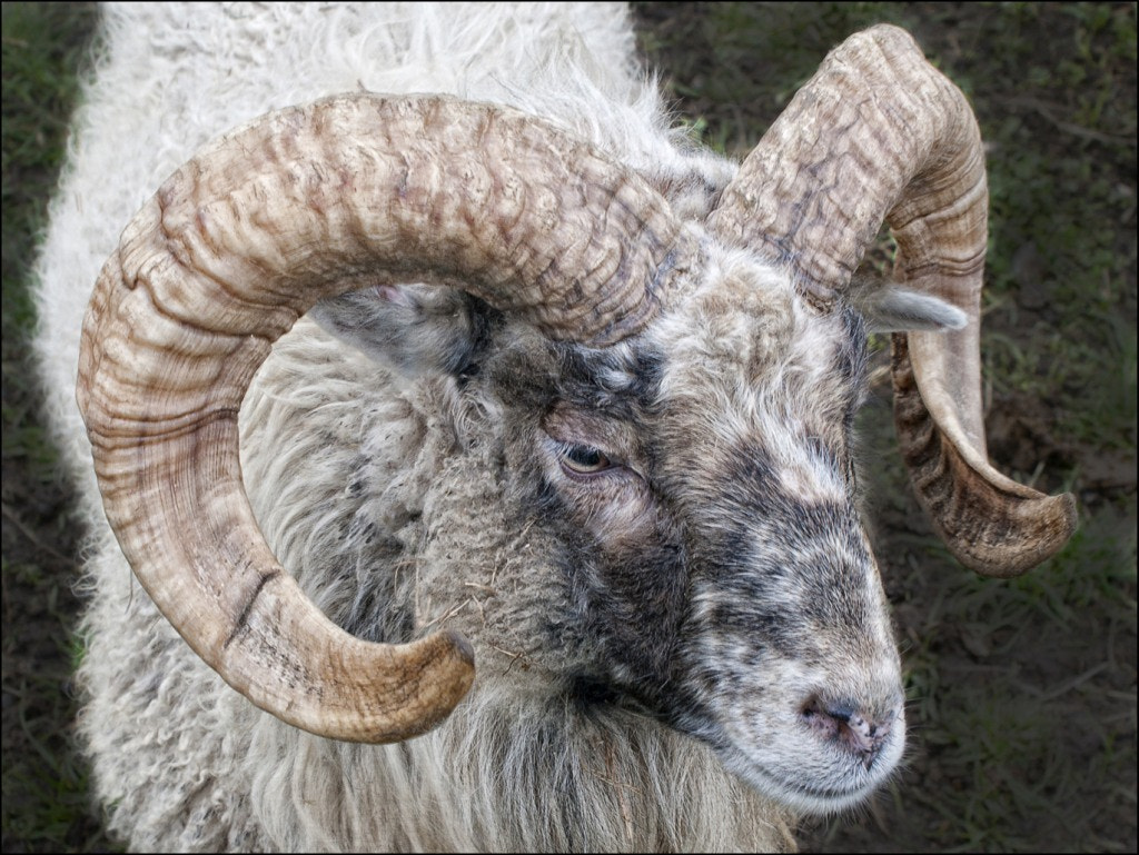 Photograph Ram by RobN 185 on 500px