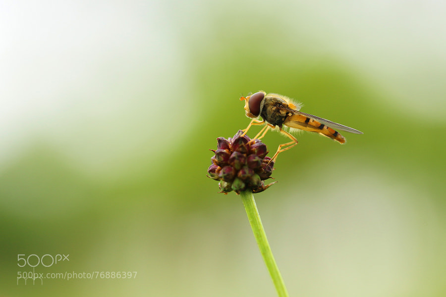 Hoverfly | II