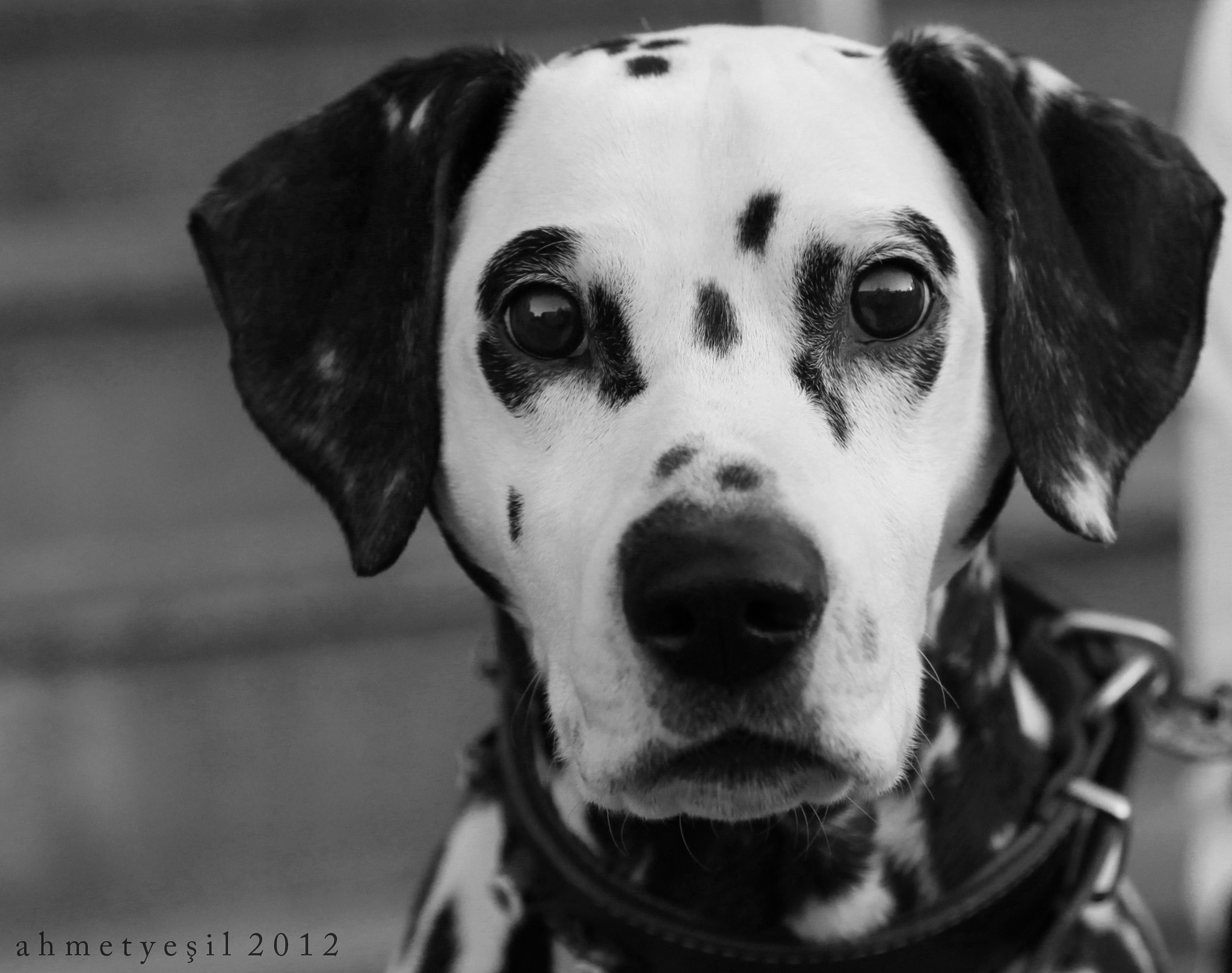 Photograph Dalmatian by Ahmet Yeşil on 500px
