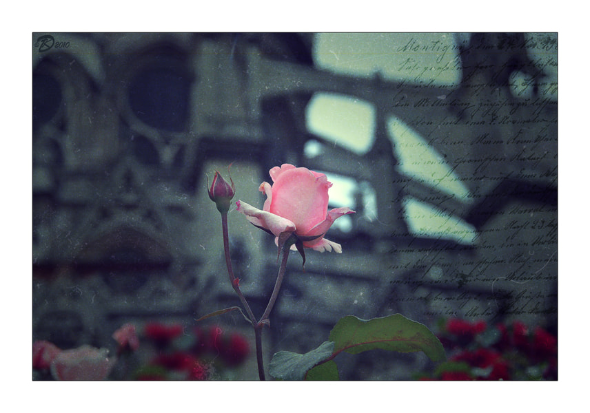 Photograph kiss from a rose by no_gravity * on 500px