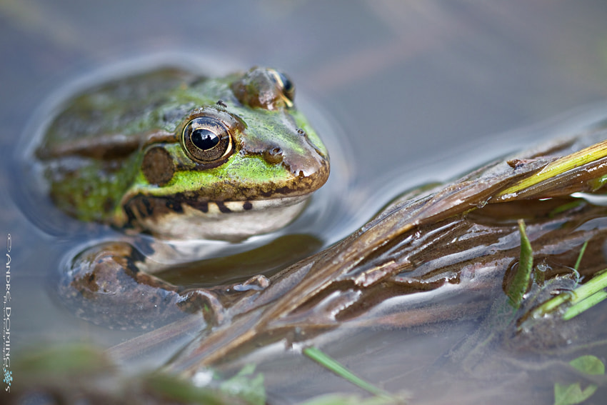 "Photograph "" Frog "" by André  Domingos on 500px"