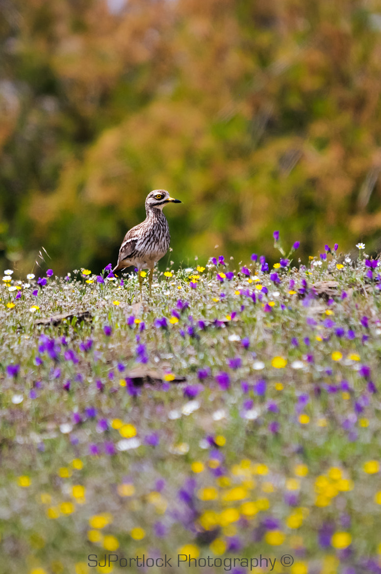 Photograph Stone-curlew by Stephen Portlock on 500px